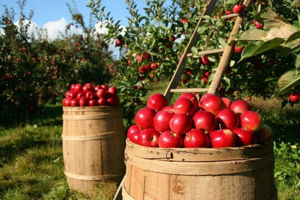 apples_image